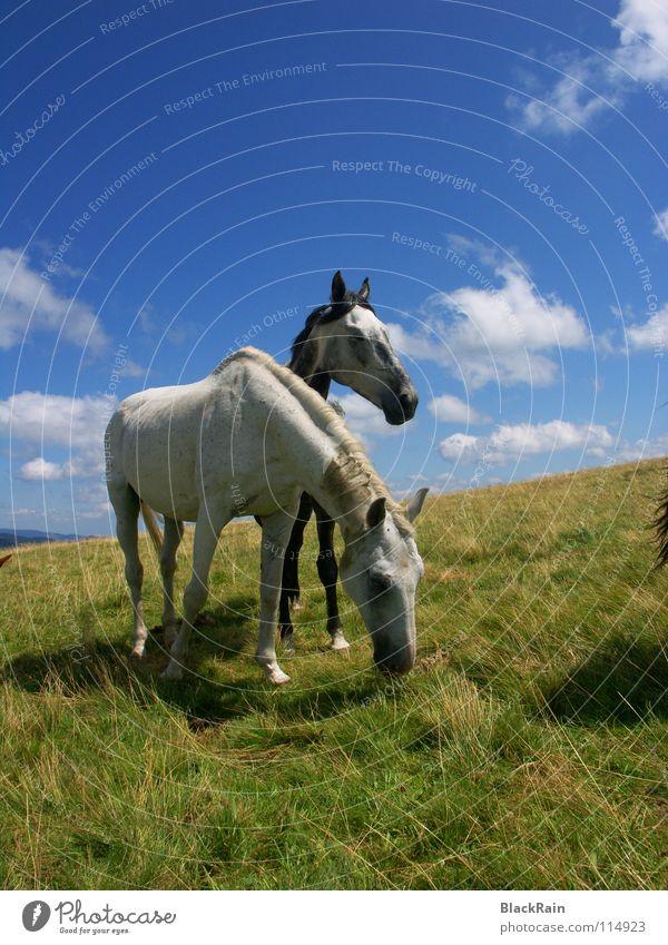 Freiheit Himmel Sommer Wolken Gras Horizont Pferd