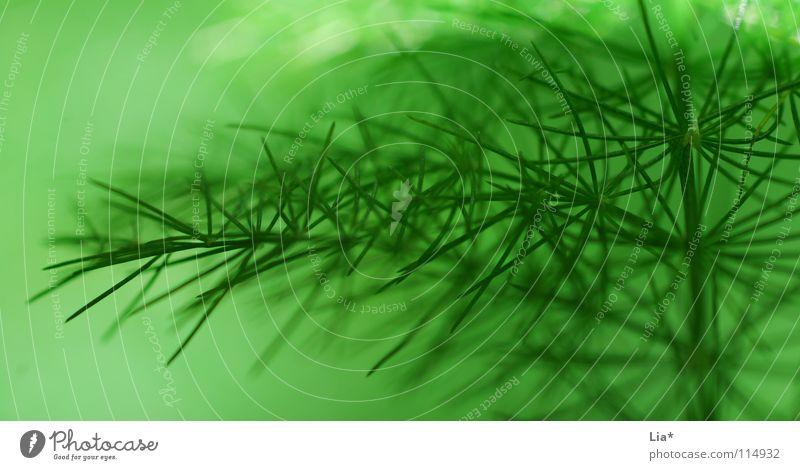 softgreen Natur grün Pflanze Hintergrundbild frisch Sträucher weich Frieden zart Tanne leicht sanft edel fein Geäst filigran