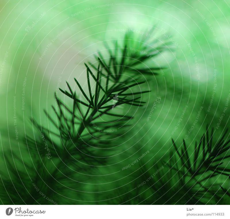 Zweig Nahaufnahme Makroaufnahme Natur Pflanze Sträucher frisch weich grün friedlich Frieden leicht zart Geäst Zweige u. Äste fein sanft Tanne
