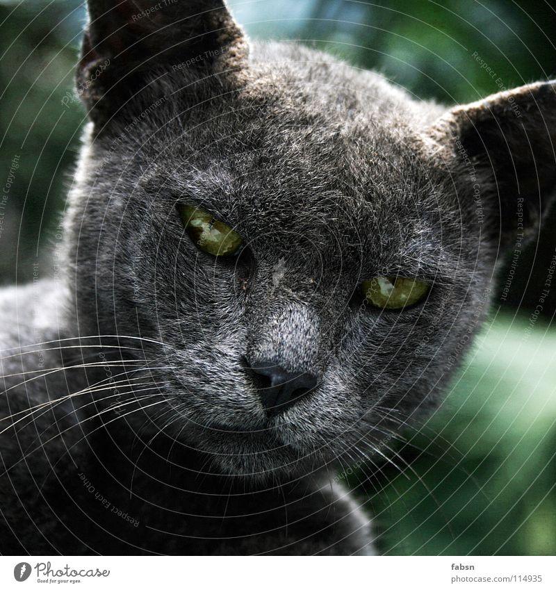 GRUEN IN GRAU Blick schön Erholung Freiheit Natur Tier Katze klug grau grün Appetit & Hunger Konzentration clever Säugetier hypnotisch Zauberer