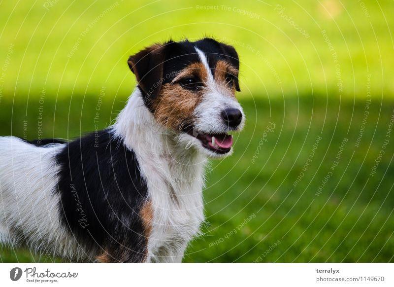 Jack Russell Terrier Hund schön grün Sommer Freude Tier feminin Glück stehen Fröhlichkeit beobachten niedlich Freundlichkeit Neugier Wachsamkeit Haustier