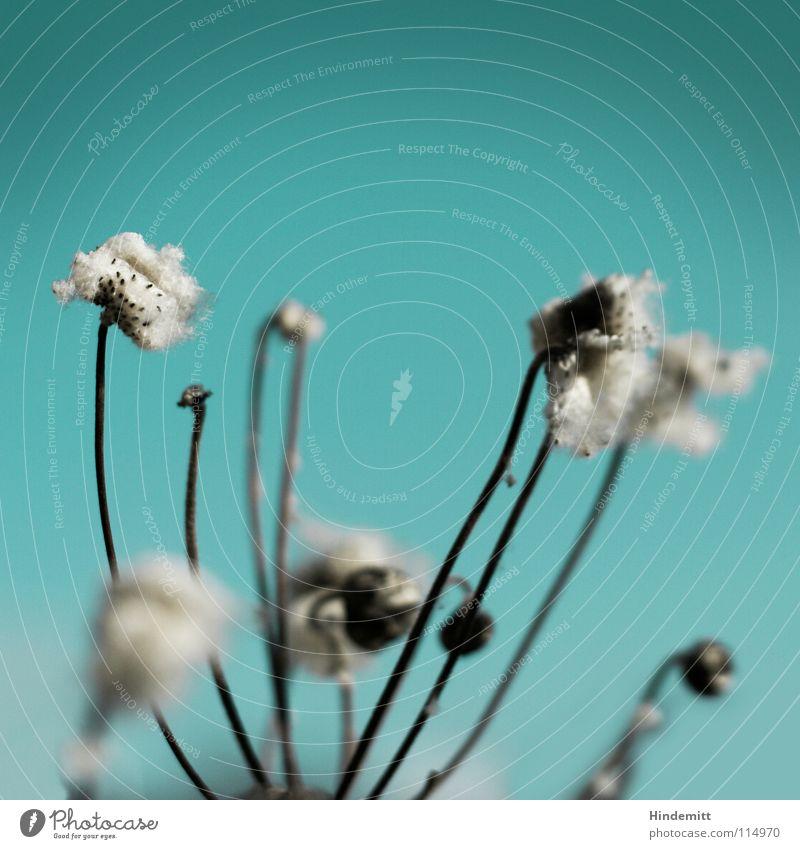 Verblüht Blume Blüte Stengel grün weiß grau Winter Herbst Blühend welk braun offen Vergänglichkeit Trauer neu Flaum weich ruhig Denken innehalten Zeit zuletzt