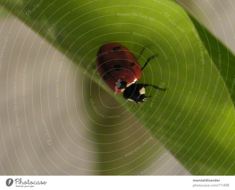 Marienkäfer grün Pflanze rot Blatt schwarz Verkehr Punkt krabbeln