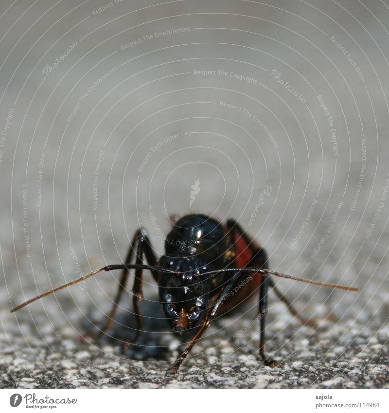 Riesenameise Natur schwarz Auge Tier Kopf grau Beine Tiergesicht Asien Insekt Gesichtsausdruck Fühler krabbeln frontal Ameise Angriff