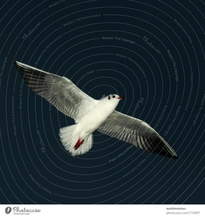 Nachtmöwe Himmel Meer Strand dunkel Vogel fliegen Luftverkehr Feder Flügel Möwe Nachtaufnahme Tier Lachmöwe