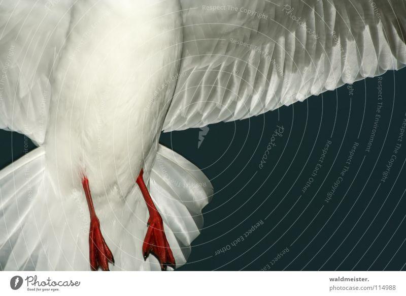 Möwenbauch bei Nacht Himmel Meer Strand dunkel Vogel fliegen Luftverkehr Feder Flügel Nachtaufnahme Tier Lachmöwe