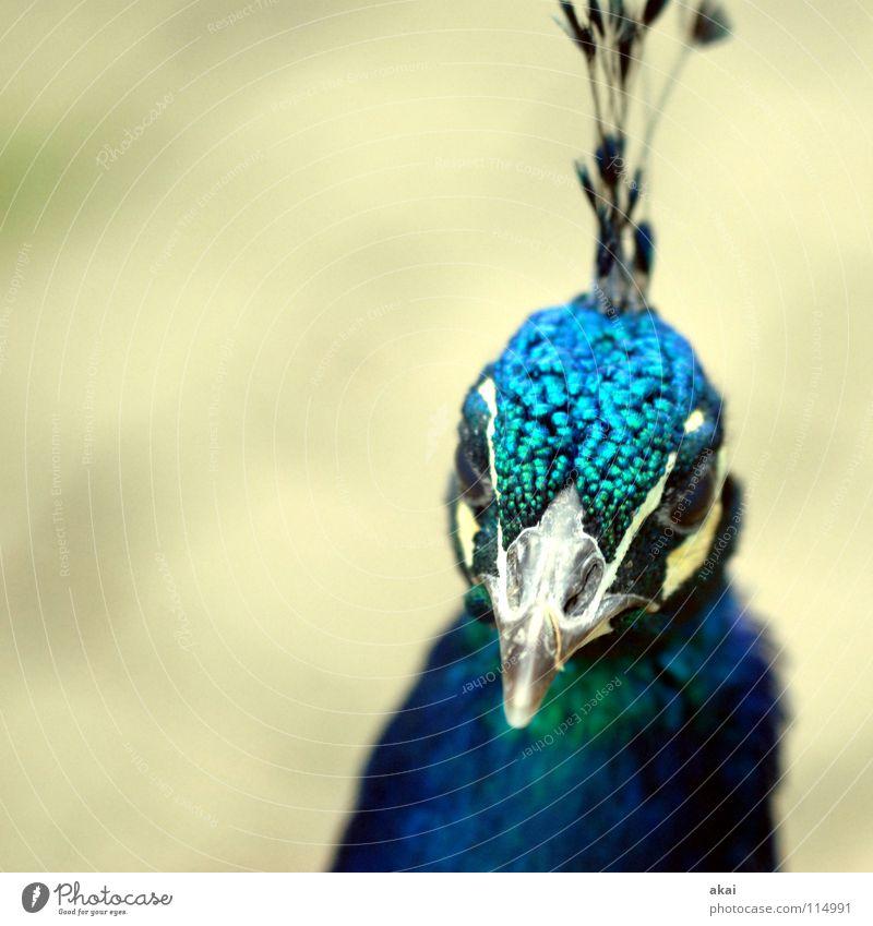 Stolz wie ein Pfau schön Tier Vogel gefährlich Jagd Kontrolle Wachsamkeit Vorsicht krumm Jäger Oktober Pfau 2007