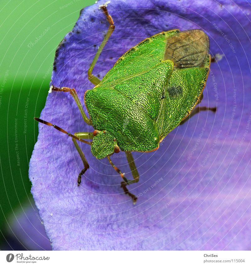 Die Grüne Stinkwanze (Palomena prasina) Baumwanze Wanze Insekt grün Tier Blatt Nordwalde Makroaufnahme Nahaufnahme Sommer blau hibiskusblüte Pflanzensaftsauger