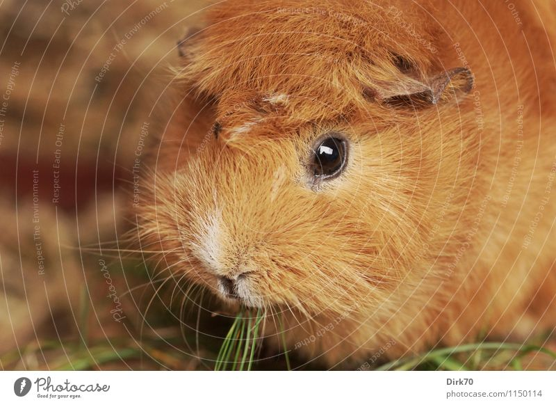 Meerschweinchen 'mal quer Ernährung Häusliches Leben Tier Gras Halm Garten Wiese Stall Haustier Tiergesicht Fell Nagetiere 1 beobachten Fressen hocken Blick