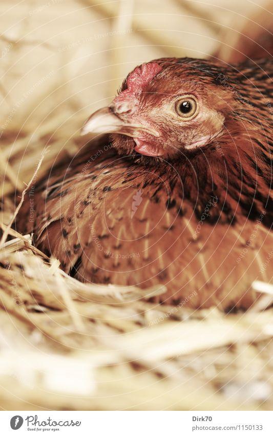 Stiller Brüter Natur rot ruhig Tier schwarz gelb Holz braun Lebensmittel Vogel rosa sitzen Ernährung Landwirtschaft Bioprodukte Haustier