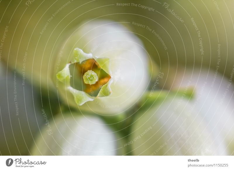 Blaubeerblüte Frucht Vegetarische Ernährung elegant Leben Umwelt Natur Pflanze Frühling Blume Sträucher Blüte Nutzpflanze Garten Wald Wachstum frisch nachhaltig