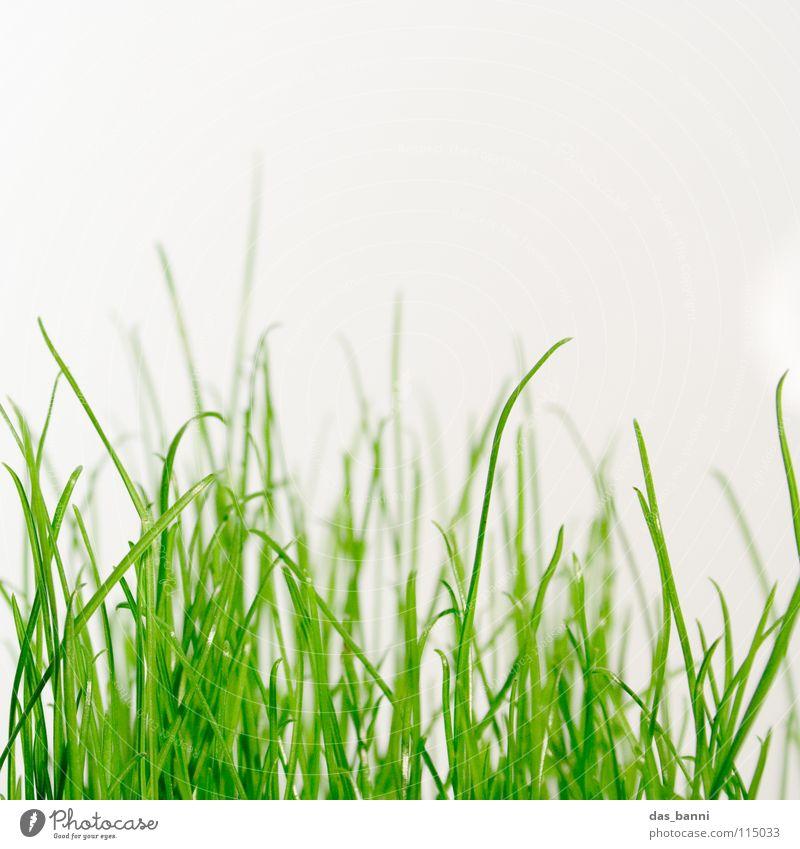 clean gras die dritte - Raum ist Luxus! Gras Halm Grasnarbe grasgrün Grasbüschel Photosynthese Vor hellem Hintergrund Textfreiraum oben Nahaufnahme organisch