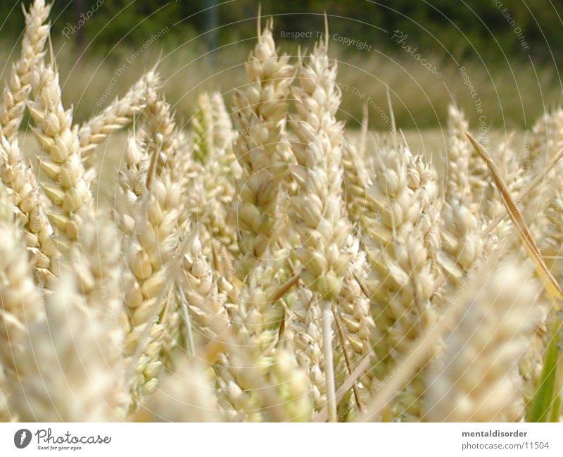 ein Bett im Kornfeld Feld Getreide Landwirtschaft Ernte Ähren Mehl