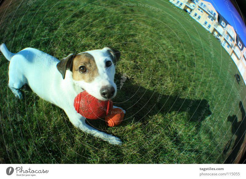 STRETCHED weiß grün rot Wiese Spielen Gras Hund braun Ball Tiergesicht Säugetier Treue Terrier Gassi gehen Jack-Russell-Terrier