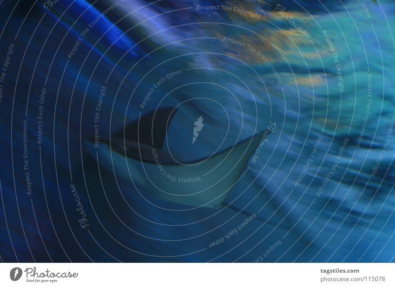 FLOATING Rochen Meer gleiten grau Stromlinie Fisch schön Wasser blau Manta Bewegung stromlinienförmig Stromlinienform Unterwasseraufnahme Flosse erhaben