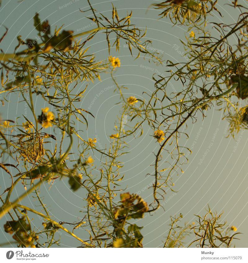 Wie im Himmel grün blau Blatt Wolken Ferne oben Blüte Landschaft Feld gold hoch Wachstum nah Klarheit Vertrauen