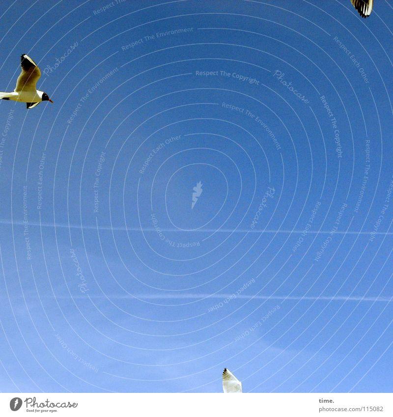 Schnäppchenjäger Strand Luftverkehr Himmel Küste Ostsee Wildtier Vogel Flügel 3 Tier schreien blau Zufriedenheit Energie Umwelt Möwe Schweben Kondensstreifen