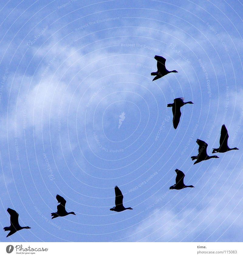 Überflieger Himmel blau Wolken Leben Vogel Zufriedenheit Wildtier ästhetisch Flügel Tiergruppe Schweben 8 Gans Schwarm Süden Vogelschwarm