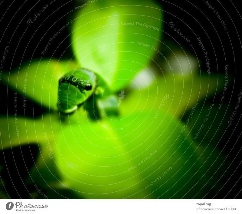 salatschreck Natur grün schwarz Raupe