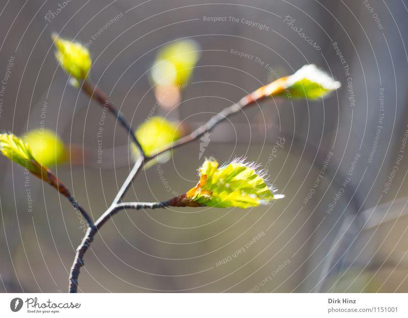 Carpinus betulus II Umwelt Natur Pflanze Baum Blatt Wildpflanze Park Wald braun grün Gefühle Lebensfreude Frühlingsgefühle schön Beginn Perspektive Umweltschutz