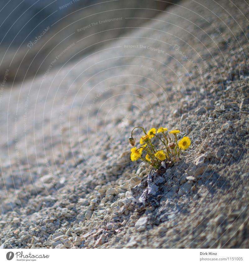 Blumen an Steilküste Umwelt Natur Landschaft Pflanze Erde Frühling Blüte Wildpflanze Hügel Küste Wüste gelb einzigartig Endzeitstimmung Klima Langeweile