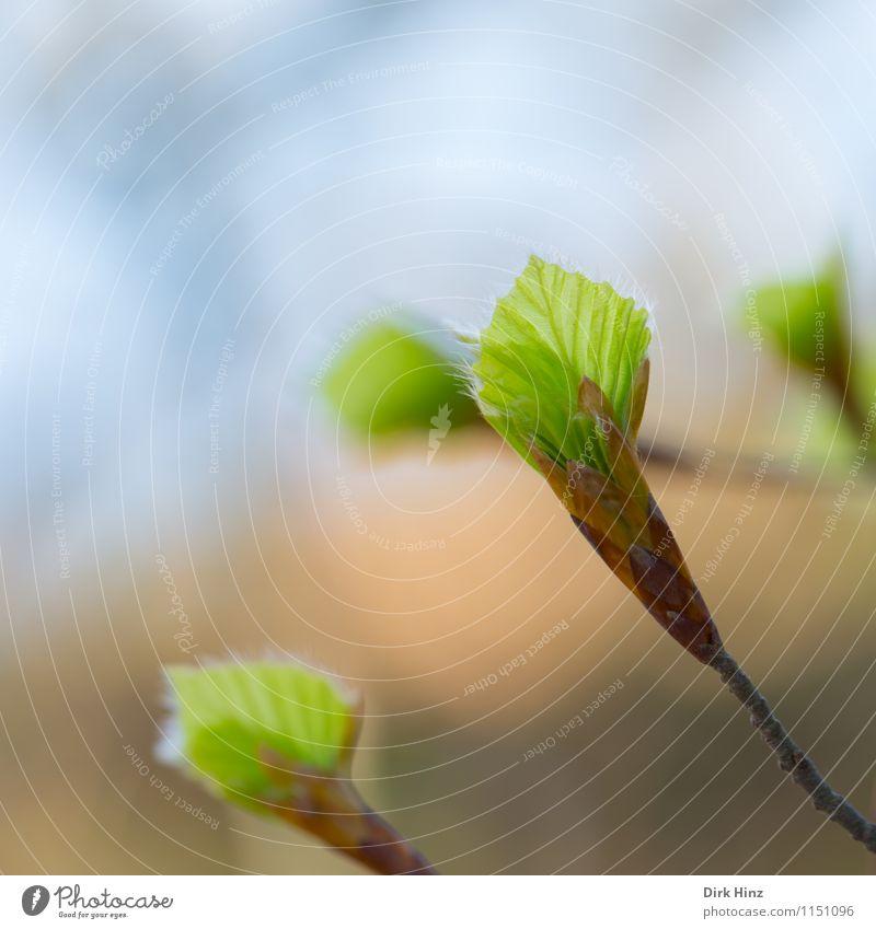 Carpinus betulus III Umwelt Natur Pflanze Frühling Blatt Wildpflanze Garten Park Wald frisch zartes Grün Umweltschutz braun grün Gefühle Lebensfreude