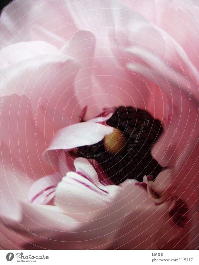 rosa Blüte Blume Blüte hell rosa Streifen zart leicht bleich Valentinstag Blütenblatt Staubfäden