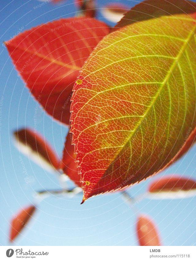 Herbstlaub Blatt Baum Pflanze rot grün gelb September Oktober Jahreszeiten Licht Kraft Vergänglichkeit Himmel blau fallen Lampe Farbe Kontrast färben