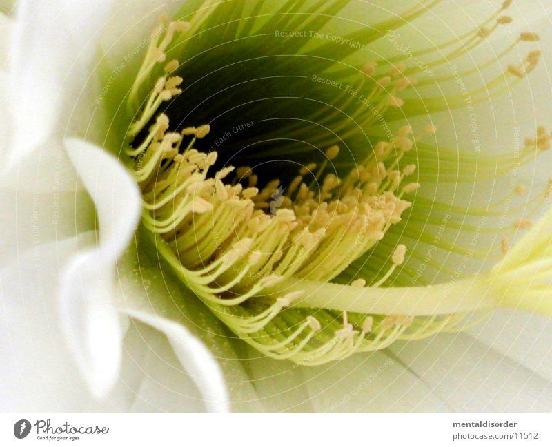 BienenLockStoff weiß gelb Blüte Pollen Kaktus Blütenstempel