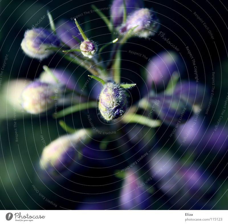 Noch im Wachstum Frühling Makroaufnahme Blume Blühend Pflanze Natur Garten violett weiß zart Unschärfe sprießen Nahaufnahme Blütenknospen