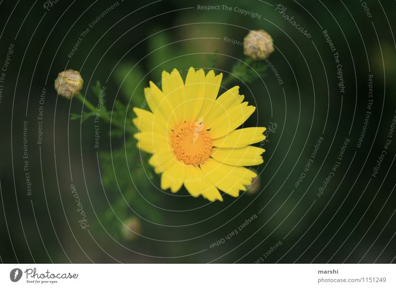 italienischer Herkunft Natur Pflanze Blume gelb Blüte Frühling Sträucher Blütenknospen Blütenblatt Grünpflanze Nutzpflanze