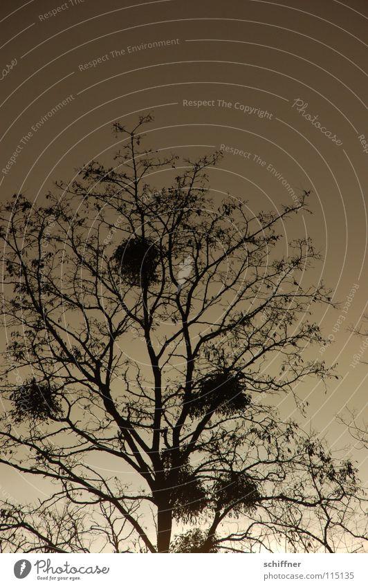 Puschlbaum Baum Sträucher Mistel Schmarotzer Winter laublos Sonnenuntergang dunkel Trauer Verlauf Mistelzweig Tradition Schatten Ernüchterung Traurigkeit