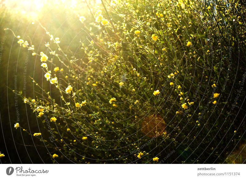 Ranunkel Garten Schrebergarten Kleingartenkolonie Sträucher Pflanze Ranke Blüte Blühend Blume Sonne blenden Gegenlicht Sonnenstrahlen Hahnenfußgewächse hell