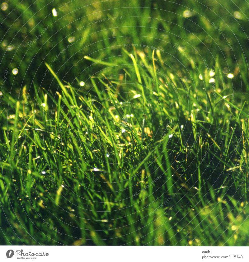Gras... taumeln grün Bewegung Luft Windzug Windböe Halm Stengel Rauschen Feld Landwirtschaft Wiese Wassertropfen Alm Bö Schilfrohr Rispe Rasen Weide Tau