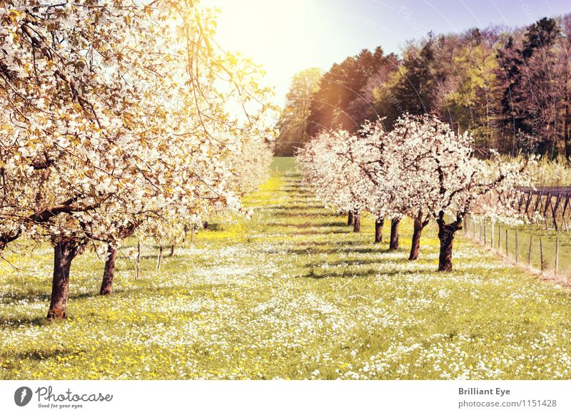 Obstäume erstrahlen im weissen Frühlingskleid Umwelt Natur Landschaft Pflanze Sonne Schönes Wetter Wärme Baum Gras Nutzpflanze Park Wiese Gefühle Stimmung
