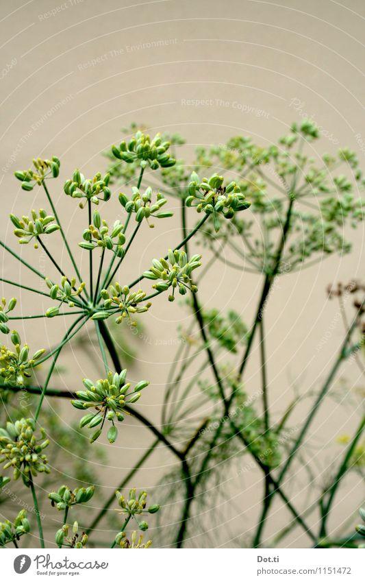 Fenchel oder Dill? Natur Pflanze Sommer Nutzpflanze grün Garten Gemüsegarten Samen Blüte Stengel Doldenblüte Farbfoto Außenaufnahme Menschenleer