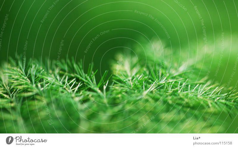 Weihnachtsgrün Natur grün Pflanze Hintergrundbild Sträucher frisch weich Frieden zart Weihnachtsbaum Tanne sanft leicht edel Geäst fein