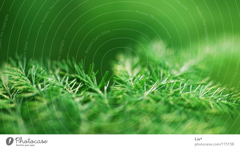 Weihnachtsgrün Pflanze Natur Makroaufnahme leicht frisch zart Geäst Zweige u. Äste weich fein Frieden sanft Tanne Unschärfe Weihnachtsdekoration Tannenzweig