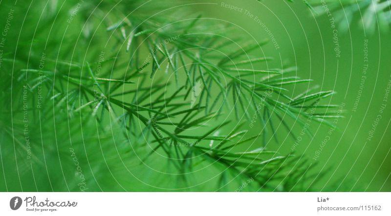 sanfte Nadeln Nahaufnahme Makroaufnahme Natur Pflanze Sträucher frisch weich grün friedlich Frieden leicht zart Geäst Zweige u. Äste fein Tanne