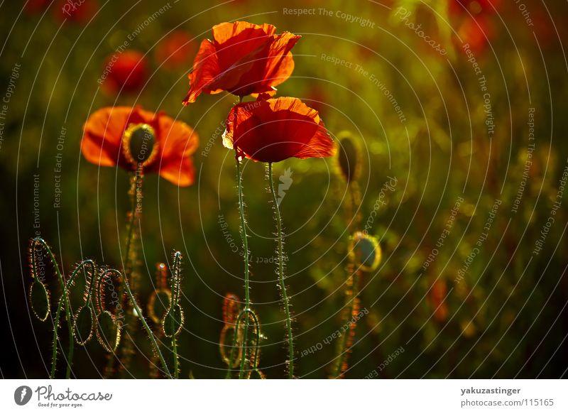 rotes Wunder Mohn Klatschmohn grün Härchen Pflanze Feld Sommer Stachel Flora Fauna Heilpflanzen Unkraut