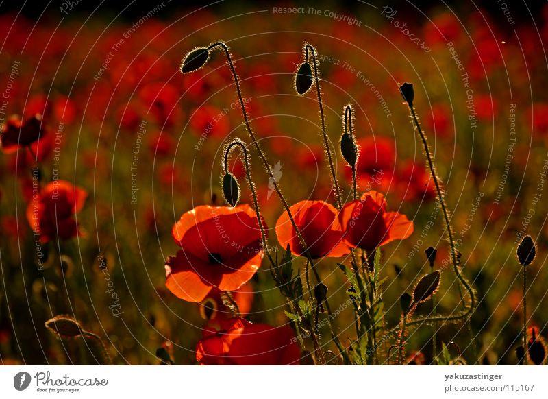 rotes Wunder 2 Mohn Klatschmohn grün Härchen Pflanze Feld Tier Sommer Stachel Heilpflanzen Unkraut