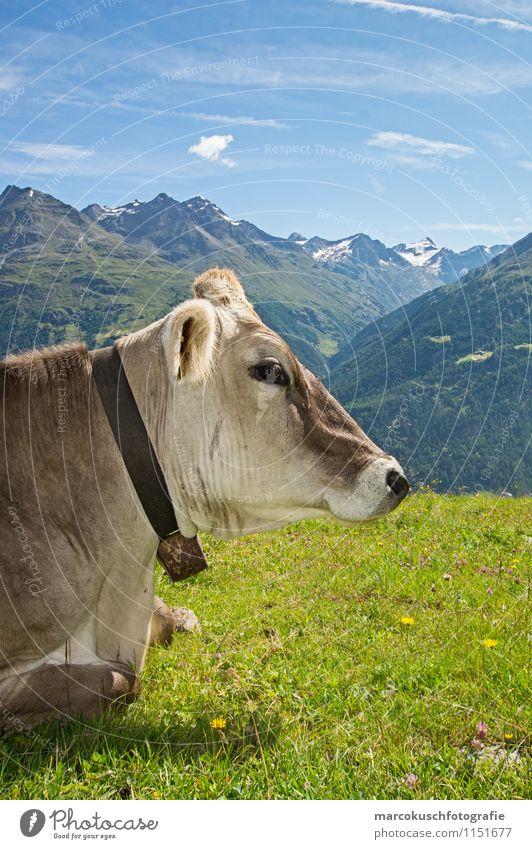 Alpen Kuh blau grün Sommer Erholung Landschaft Wolken ruhig Tier Berge u. Gebirge Wiese braun Zufriedenheit liegen Aussicht genießen Schönes Wetter