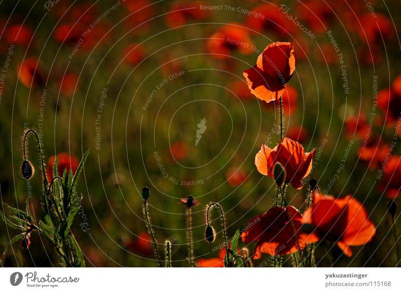 rotes Wunder 3 grün Pflanze Sommer Feld Mohn Stachel Heilpflanzen Klatschmohn Härchen Unkraut