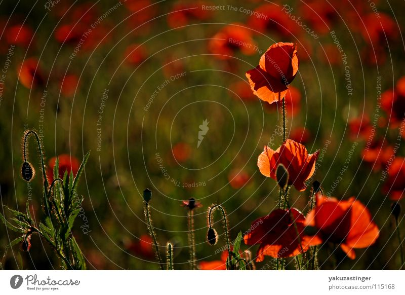 rotes Wunder 3 Mohn Klatschmohn grün Härchen Pflanze Feld Sommer Stachel Flora Fauna Heilpflanzen Unkraut