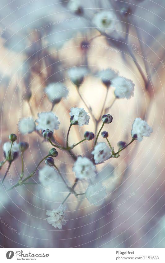 Alles Gute Natur Wachstum Blüte Blumenstrauß weiß Romantik Geburtstag Blütenknospen Garten Schwache Tiefenschärfe Rahmen Pflanze überlagert Schleierkraut