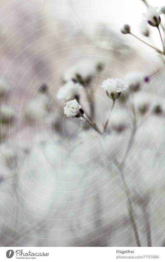 Weich Natur Blühend Schwache Tiefenschärfe Blüte weiß sanft weich Unschärfe Silhouette überlagert Geburtstag Wachstum Pflanze Garten Stengel verträumt Romantik