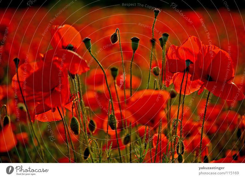 rote Flut grün Pflanze rot Sommer Tier Feld Mohn Stachel Heilpflanzen Klatschmohn Härchen Unkraut