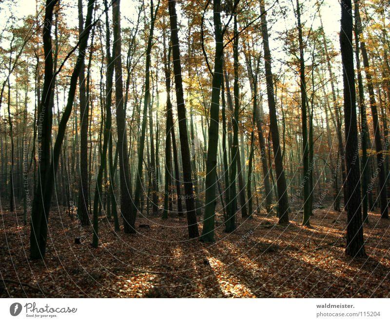 Herbstwald Baum Wald Herbst Nebel Romantik feucht mystisch Märchen Zauberei u. Magie Lichtstrahl Märchenwald Zauberwald