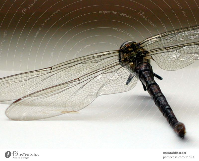 zarte Flügel Libelle Insekt Tod Nahaufnahme
