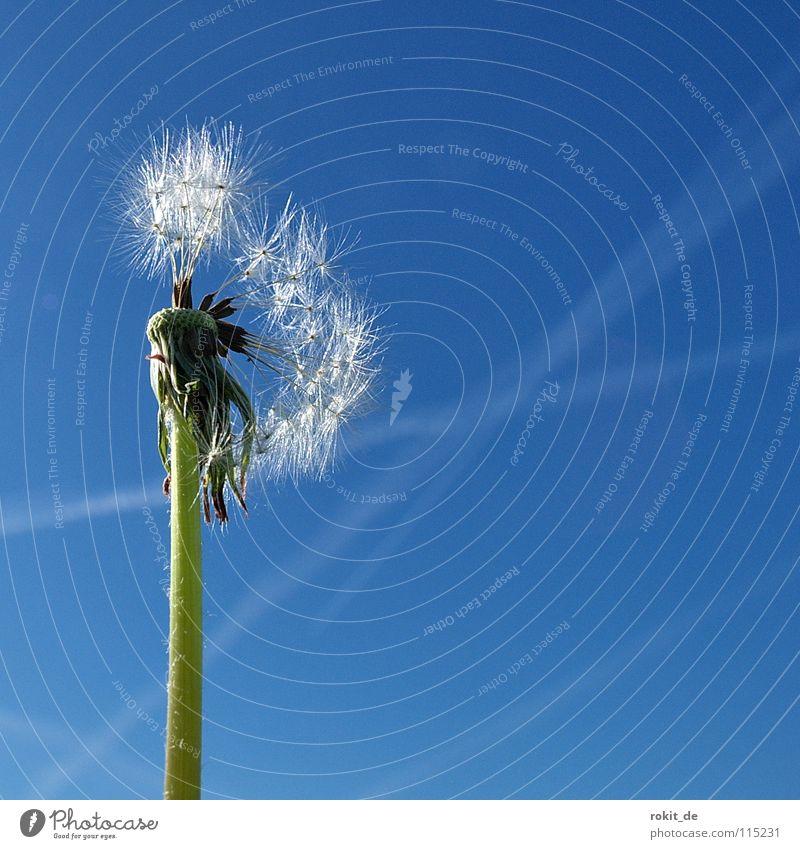 Der letzte Rest blau grün Sommer fliegen Stengel Löwenzahn blasen leicht Leichtigkeit verloren verblüht Düsenflugzeug Kondensstreifen